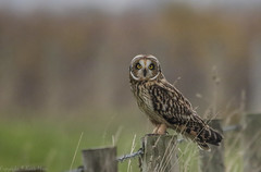 Short Eared Owl - (Asio flammeus) - 'Z' for zoom (hunt.keith27) Tags: talons bird feathers wings quartering asioflammeus shortearedowl owl eyes beautiful magnificent medium sized owls pale underwings yellow mammals especially voles animal canon grass sky somerset sigma