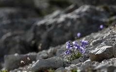 Torneranno a fiorire ..... .. (lincerosso) Tags: fiori flowers campanula campanulalinifolia ghiaionecalcareo estate bosconero vresantenord forcellabella bellezza armonia luce