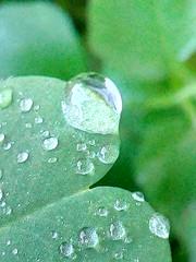 Vita, semplicemente vita, questo è una goccia d'acqua (Cercatore) Tags: picoftheday hdrphotography goccia rain macrophotography macro fioridicampo huaweiy5 hdr nature drop huawei fiori photooftheday natura cercatore hdrphoto