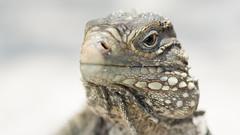 Iguana Close-Up