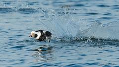 A hard landing (Earl Reinink) Tags: splash splashdown water lake waterfowl bird animal duck longtailedduck nature wildlife cold outdoors earl reinink earlreinink riodduaaza
