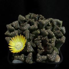 Titanopsis hugo-schlecteri