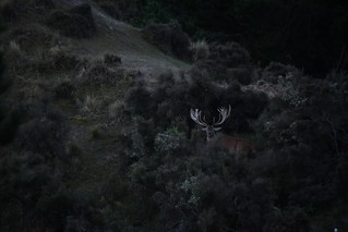 New Zealand Trophy Red Stag Hunting - Kaikoura 27