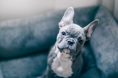 (Rebecca812) Tags: puppy cute soft fuzzy adorable frenchie dog pets animal canine pamperedpets dogbed comfortable cozy frenchbulldog blue sweet petportraits rebecca812 canon nopeople