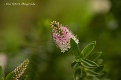 Pink Hebe (Anna Calvert Photography) Tags: australia canberra flora floral flowers garden landscape macro macrophotography mygarden nature outdoors petals plants hebe pink