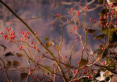 berries (bidutashjian) Tags: plant vine berries fruit red winter leaves foliage nikon d3500 nature outside outdoors season