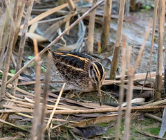 Jack Snipe (Steve (Hooky) Waddingham) Tags: animal countryside coast bird british nature wild wildlife water wader