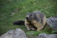 Marmot ☘️ (Dimitri Gugliotta) Tags: marmot marmotta nature natura wild selvaggio animal animale animals animali