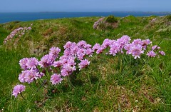 Thrift - Pembs coastal path Wales (3) (Ann Collier Wildlife & General Photographer) Tags: thrift pembrokeshire pembswales wales coastallandscape pink wildflowers britishwildflowers flora florafauna uk flowers