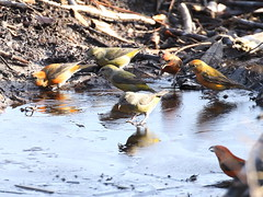 Common Crossbills - Hemsted Forest IMG_9999_79 (2) (mikehook51) Tags: avian birds bbcspringwatch canon common canoneos7dmk11 canon7dmk11 digital england fauna flora forestrycommission forest ice january kent hemstedforest local male female nature ornithology rare sunshine telephoto puddle uk visitors wildlife winged water woodland winter
