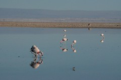 2017-11-09_0730_DSC_0677 (becklectic) Tags: 2017 atacamadesert atacamasaltflat birds chile flamingoes lagunachaxa lake piedrasrojastour regióndeantofagasta reservanacionallosflamencos salardeatacama sanpedrodeatacama flamingo flamingos