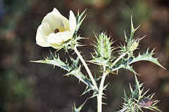 Blou Dissel Plant - Argemone ochroleuca (Mexican Prickly Poppy) 2 (roanfourie) Tags: pricklypoppy bloudissel leaves green white cream plant weed light day spring nikon d3400 nikkor dx afs 35mm raw gimp november 2018