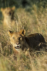 Big Cats on the Mara (johnrobjones) Tags: beyond animal animals cnp cnpsafaris kenya kichwatemba mara masai masaimara safari africa birds mammals nature river wildlife lion lioness cheetah male