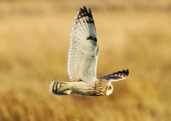 Short Eared Owl (merseymouse) Tags: shortearedowl owlshunting owls birds inexplore