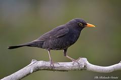 Merlo _016 (Rolando CRINITI) Tags: merlo uccelli uccello birds ornitologia avifauna montebaldo natura