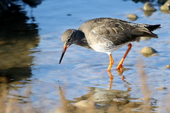 Redshank-7D2_0446-001 (cherrytree54) Tags: redshank rye harbour canon sigma 7d 150600 east sussex