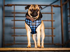 Pop Up Pug Pub (Michael Tendler) Tags: animals dogs fuji fujifilm popuppugpub pugs xt2