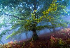 altube arbola 2 (juan luis olaeta) Tags: paisajes landscape forest basoa pagoa bosque hayedo fog foggy nieblas brumas laiñoa natura photoshop lightroom