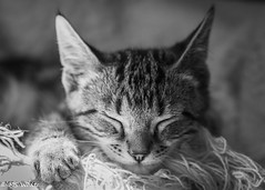 Oh so soft and cuddly! (SpyderMarley) Tags: marley tabby cat kitten portrait sleepy cute comfortable snuggling throw