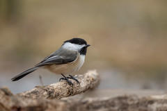 Black-capped Chickadee-44992.jpg (Mully410 * Images) Tags: bird chickadee birding birdwatching birder birds backyard blackcappedchickadee