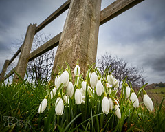 Early Starters (Doug.King) Tags: snowdrop flower spring january fence sky