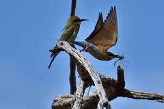 Rainbow Bee-eaters (philk_56) Tags: western australia perth lake gwelup reserve bird rainbow bee eater
