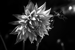 Black and white dahlias (Muse poétique) Tags: two deux macro fleurs flowers blackandwhite dalhias monochrome
