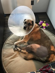 This girl got surgery after blowing out her knee (sandiagadeni) Tags: dog puppy cute puppies