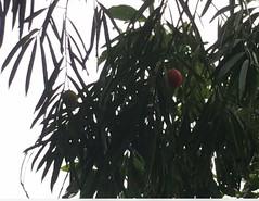 Sundacarpus amarus (FNQ vines) Tags: sundacarpusamara prumnopitys blackpine queensland qrfp atherton arffs redarffs arfp australianrainforestplants uplandarf podocarpaceae podocarpus sundacarpus