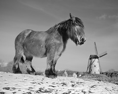 """The """"Damme"""" horse and his windmill - B&W 4/3 (Drummerdelight) Tags: horse lowpov pov damme blackwhite captiveanimals animal horses"""