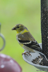 American Goldfinch_5112 (Roger Kiefer) Tags: american goldfinch birds nature wildlife outdoors backyard