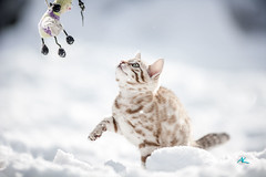 Little Molly playing in deep Snow (Andreas Krappweis - thanks for 3 million views!) Tags: bengal snow white highkey winter bengals mink brown bengalcat purebreed outdoor domesticcat playing action winterlandscape fun funny deep much snowing snowflakes