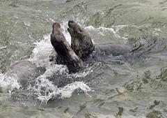 Skirmish (Gill Stafford) Tags: gillstafford gillys image photograph wales northwales conwy little orme penrhynbay rhosonsea seal greyatlantic wild colony angelbay mammal