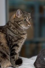 Katze Nadja... (Jana`s pics) Tags: katze hauskatze getigert stubentiger haustier cat pet animal tier tiger tierfotografie animalphotography