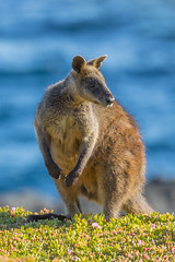 Wallaby By The Sea (tourtrophy) Tags: wallaby kangaroo philipisland australia canoneos5dmark3 canonef100400mmf4556lisiiusm