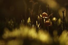 La forêt minuscule (Onnalua) Tags: forêt wood mousse minuscule macro petit vert green champignon mushromm hiver winter macrophotographie macrophoto nature onnalua annarchie anna bunichon tamron lens 90mm f28 vi usd sony alpha slta58
