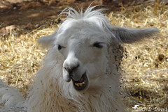 😉😉 Je me marre 😉😉 (Jean-Daniel David) Tags: animal portrait lama poil poilu closeup grosplan camélidé ferme france ardèche dent blanc brun bokeh stremeze flickrunitedaward