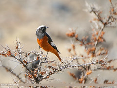 White-winged Redstart (Phoenicurus erythrogastrus) (gilgit2) Tags: avifauna birds borit canon canoneos7dmarkii category fauna feathers geotagged gilgitbaltistan gojal imranshah location pakistan species tags tamron tamronsp150600mmf563divcusd whitewingedredstartphoenicuruserythrogastrus wildlife wings gilgit2 phoenicuruserythrogastrus