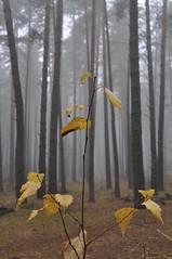 _DSC0033 (ALEKSANDR RYBAK) Tags: лес деревья листва стволы сосны берёзка туман осень сезон погода природа сырость холодно крупный план forest trees foliage trunks pine birch fog autumn season weather nature dampness coldly closeu