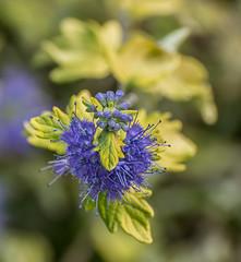 Winter Blue. (Omygodtom) Tags: wildflower blue natural nature dof d7100 bokeh sunshine scene usgs steam macro coth5 7dwf composition