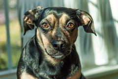 Here's looking at You (spablab) Tags: yoko home dog pug dauschund pugshund daug mixed breed pet girl chicago