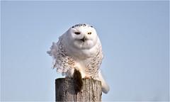 Mealtime (hd.niel) Tags: snowyowl owls nature photography photos wildlife ontario hunting voles migration fall 7c14cwindchill raptor behavioural birds farm