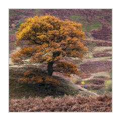 Peak District (Sean D H Lewis) Tags: peak district oak tree derbyshire