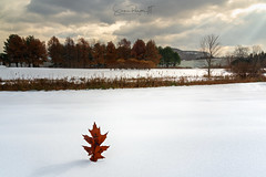 All the Leaves Are Brown (Simmie | Reagor - Simmulated.com) Tags: connecticutphotographer d750 landscapephotographer massachusetts naturephotographer newengland nikon northeast november snow southdeerfield trees usa winter cloudy digital sideoftheroad