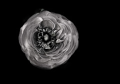 The World In Black & White (Christina's World!) Tags: ranunculus blackbackground blackandwhite bw flower natureabstract nature georgiaokeeffe artistic abstract brilliant creative california dramatic dark dramaticflower exotic plant garden sandiego stilllife silver kurtpeiser light monochrome minimalism mood macro outdoors painterly romantic textures unitedstates usa vegetation white exoticimage extraordinarilyimpressive opticalexcellence fragiletouch operapremiere lacreme yourverybest