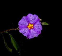 Y las Flores siguen Floreciendo.- (angelalonso57) Tags: canon powershot g1 x mark ii 125625mm ƒ160 125 mm 11000 100 alon2018 encuadre foto macro shot colours colors