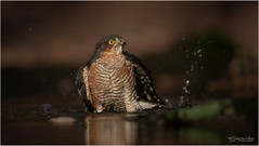 In the spotlight - bathing Sparrow Hawk [Explore #121] (Gertj123) Tags: birds bokeh spotlight birdofprey netherlands nature animal avian hide canon water wildlife autumn schaijk