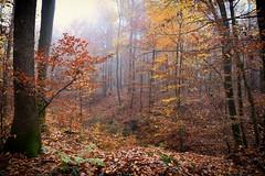A la faveur d'une timide éclaircie (Excalibur67) Tags: nikon d750 sigma art globalvision 24105f4dgoshsma paysage landscape forest foréts arbres trees automne autumn brume mist feuillage foliage nature