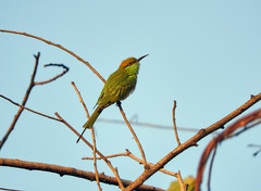 Green Bee Eater (Birdwatcher18) Tags: greenbeeeater bee eater birds birder birding birdwatching birdwatcher birdonbranch birdontree fauna forest nature