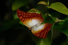 creamy (birdonwheels) Tags: beautiful nature photography macro hd plants flowers blumen pflanzen natur wildlife flora south africa südafrika animals life colorful travel butterfly schmetterling